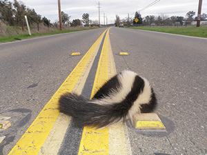 Dead skunk in road